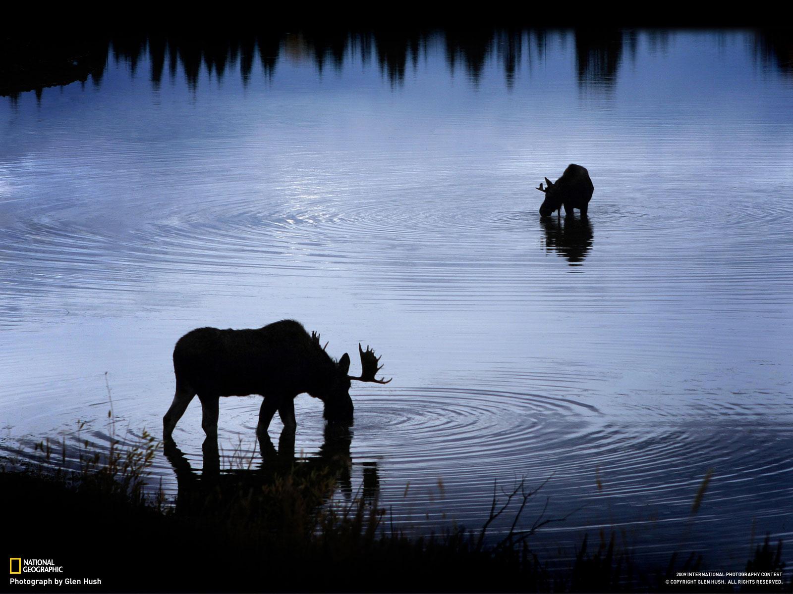 Foto Alces Tomando Agua