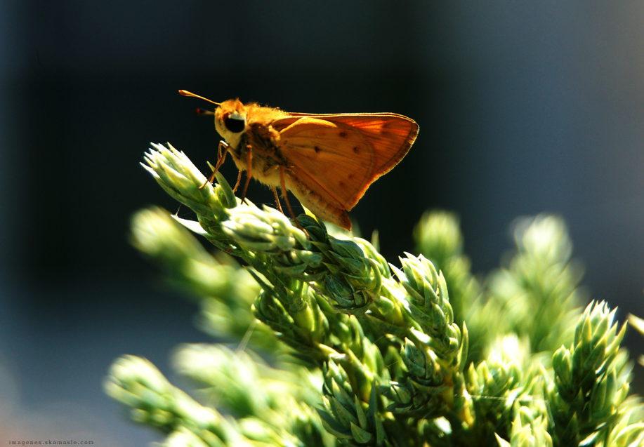 Mariposa hesperidae