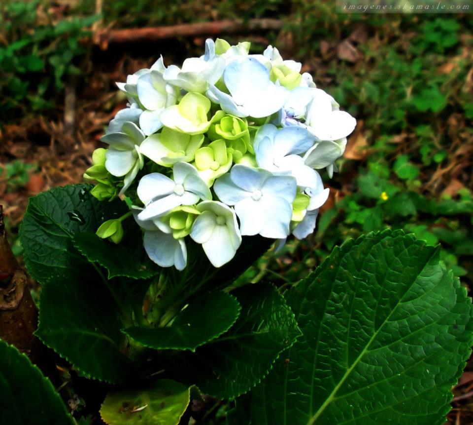 Foto flor celeste