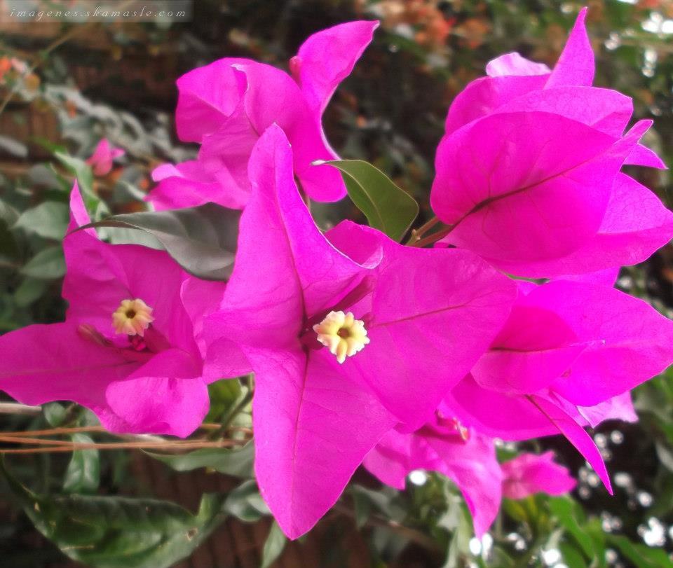 Foto flor de veranera morada