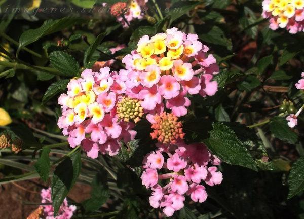Flor Rosada con Amarillo