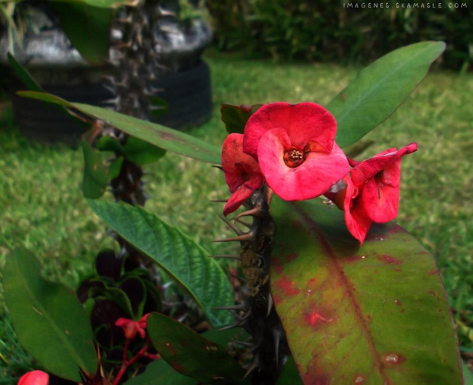 Flor Roja con Espinas