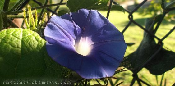 Flor Violeta Calidad Alta