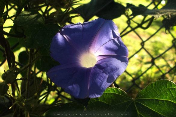 Flor Campana Violeta
