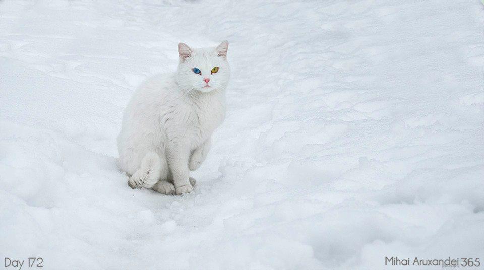 Foto gato blanco ojos de colores