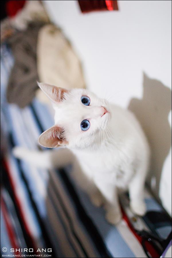 Gato blanco ojos azules fotogafia