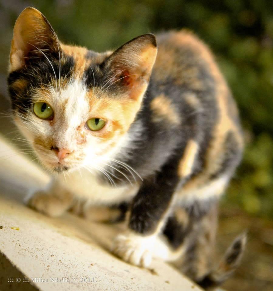 Foto de gato pinto asechando