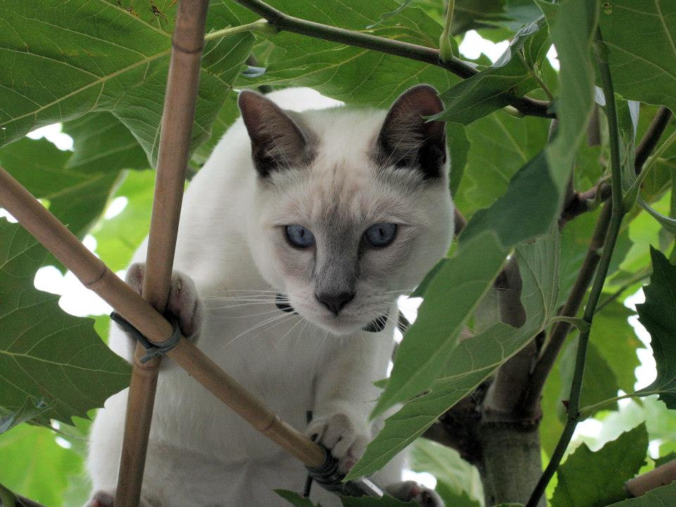Foto gato blanco asechando