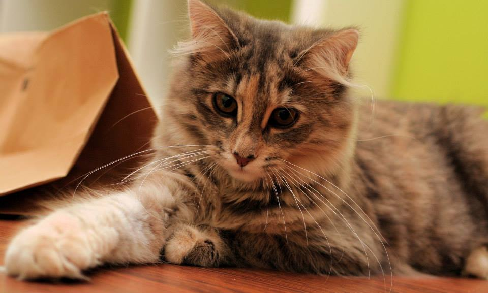 Foto alta calidad gato