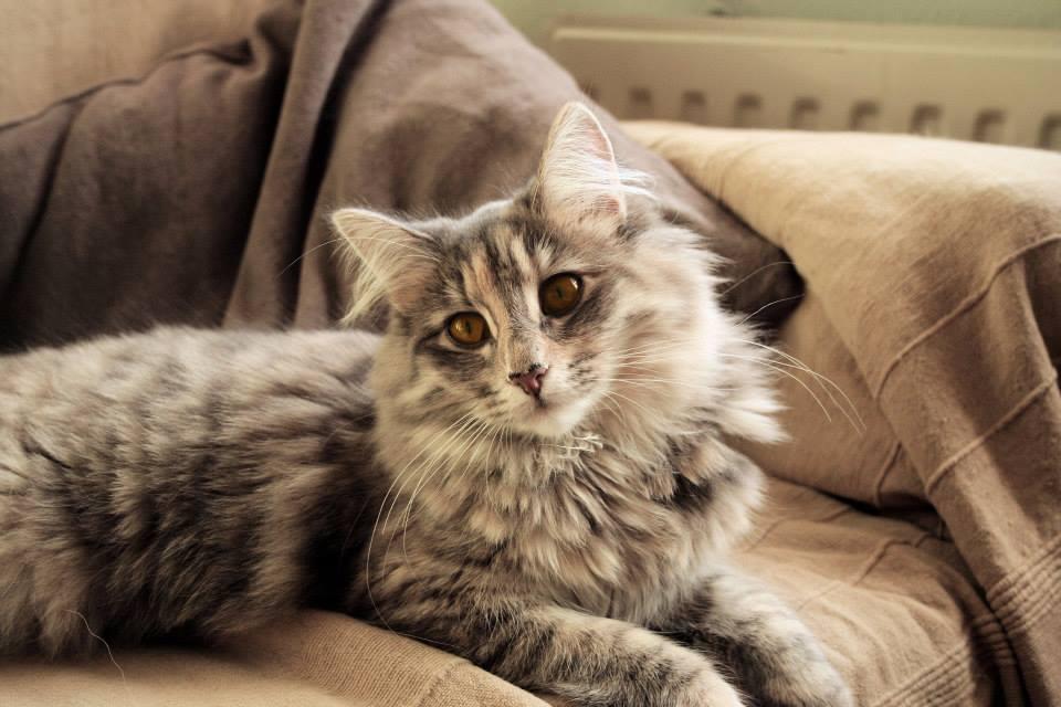 Foto gato gris