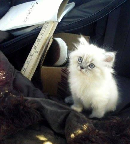 Foto gatito blanco