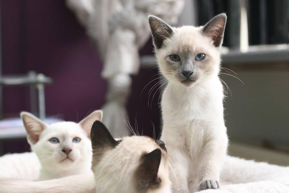 Foto mirada de gato blanco ojos azules