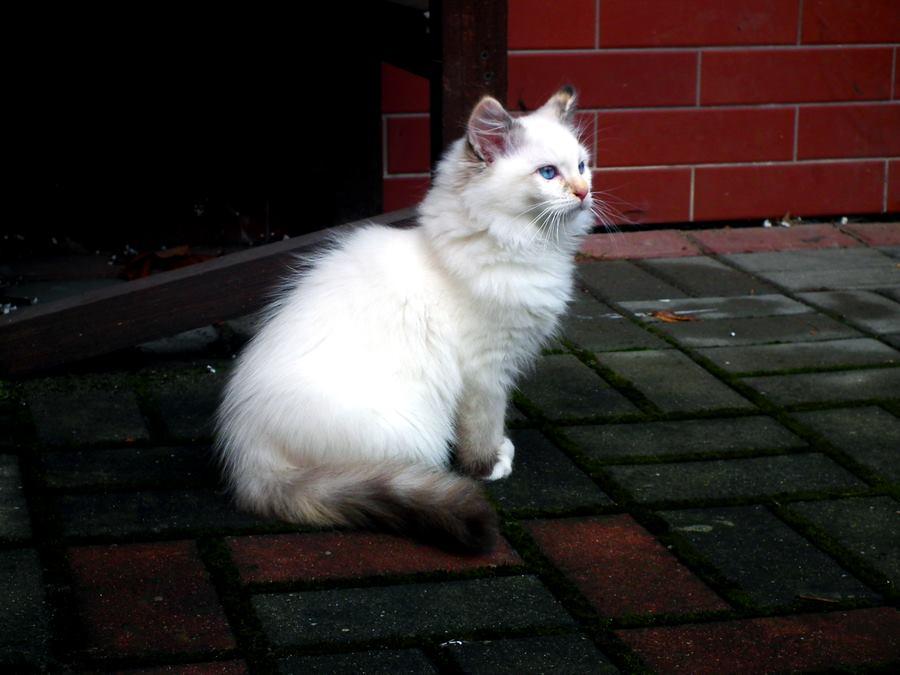 Foto gato blanco calidad alta