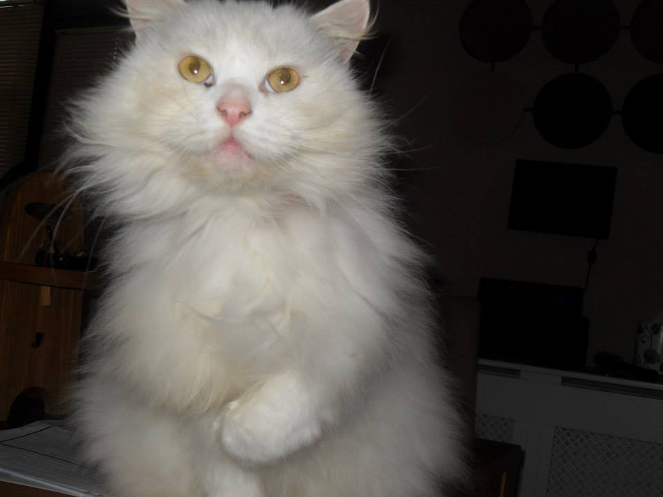 Foto gato blanco peludo
