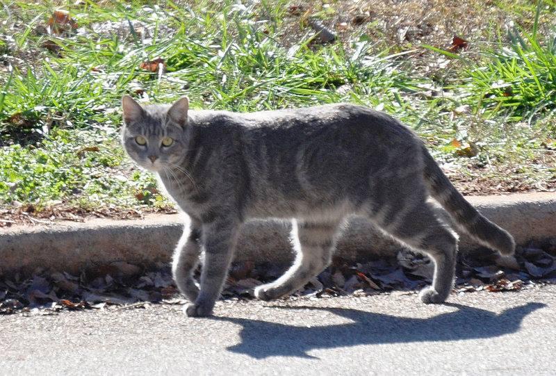Gato Callejero foto