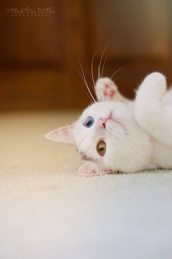 Foto gato blanco