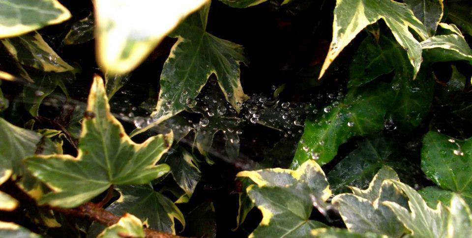 Tela de araña con gotas de agua