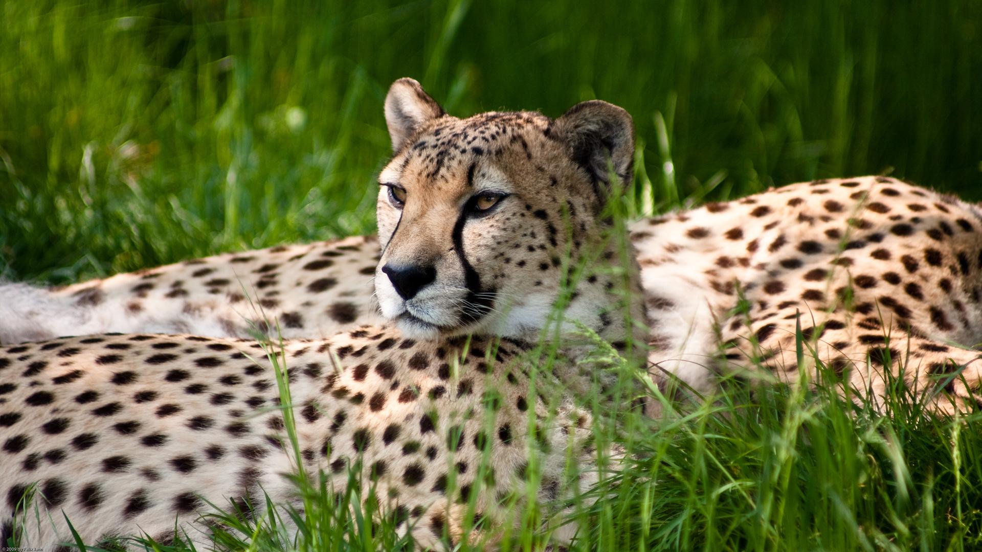 Fotografía Leopardo Acostado
