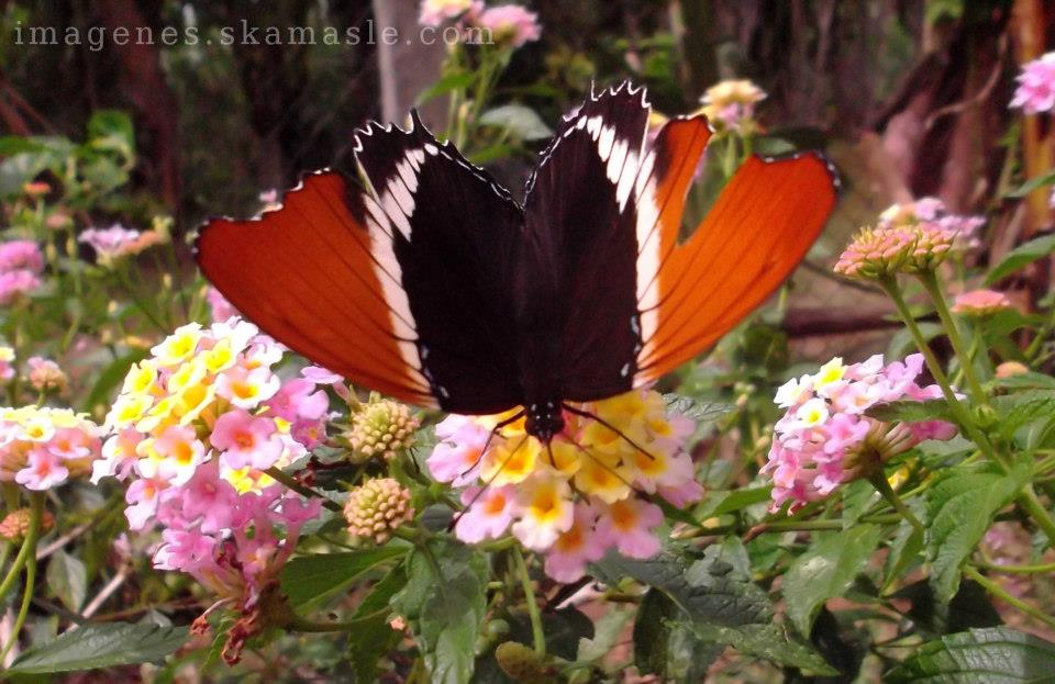 Foto Mariposa Recogiendo POlen Calidad Alta