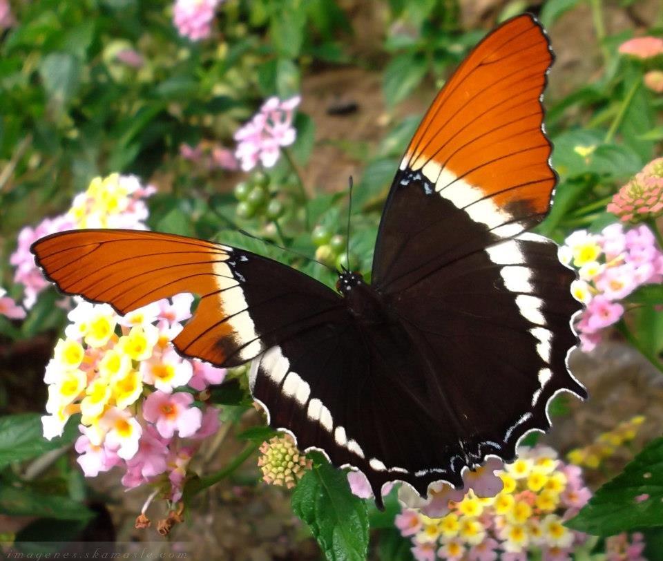 Mariposa Negra con Anaranjado