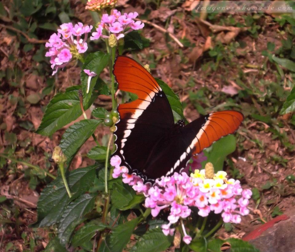 Mariposa Anaranjada Calidad Alta