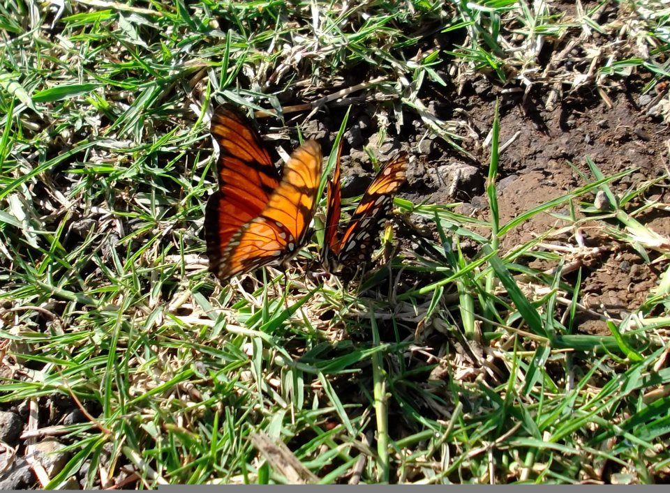 Foto mariposas en el Cesped