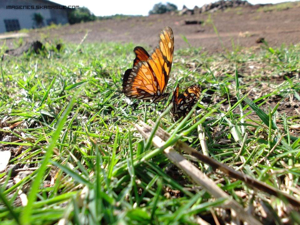Foto Mariposas Anaranjadas Calidad Buena