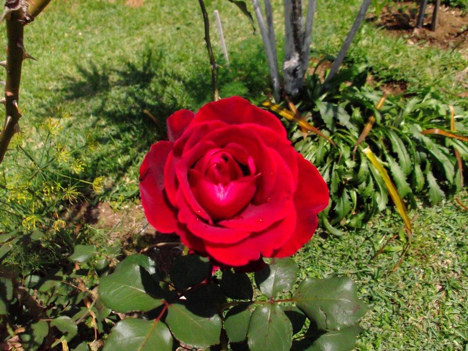 Fotografías Rosas Rojas