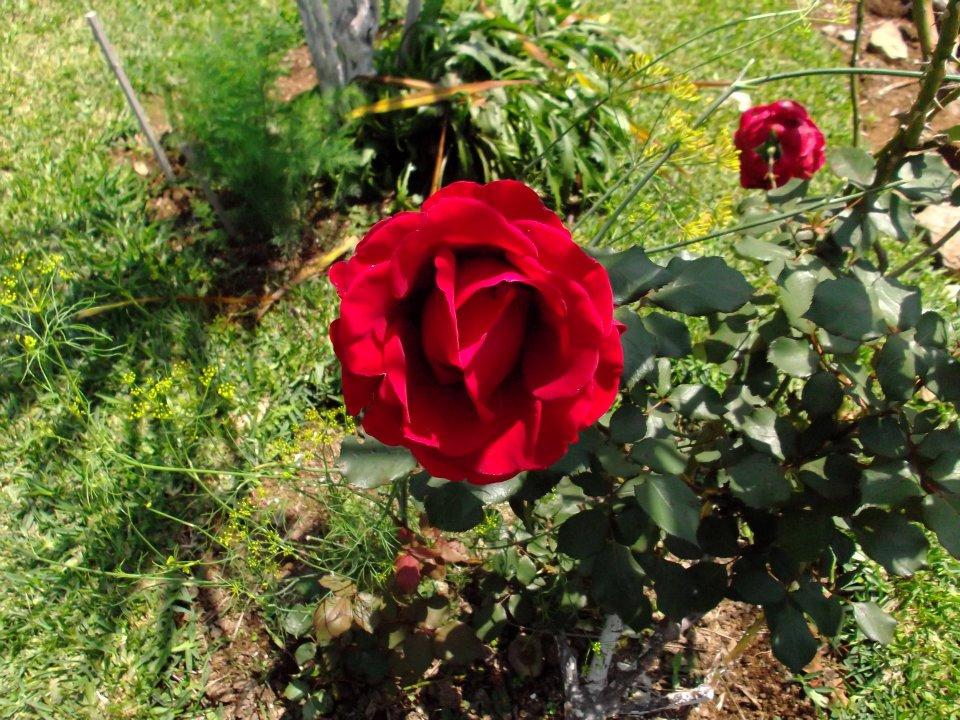 Foto Rosa Roja Alta Resolución