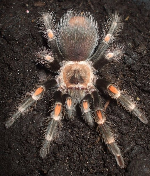 Tarantula Foto Calidad Alta