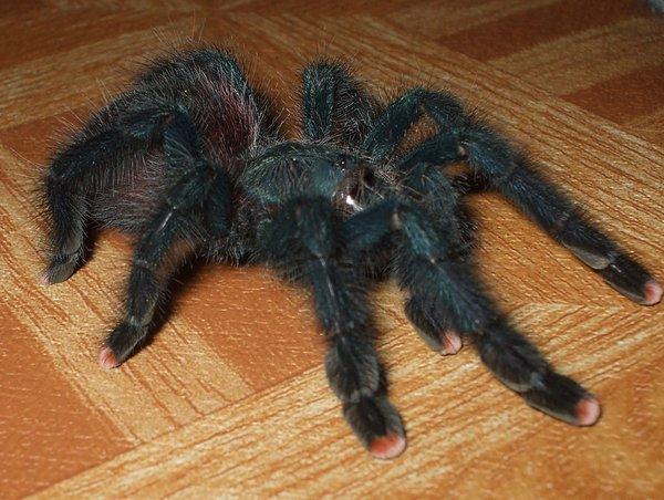 Tarantula Negra / Verdoso