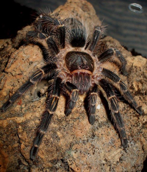 Tarantula Gigante