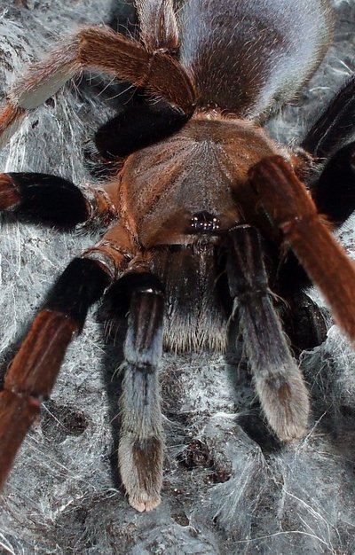 Tarantula Foto