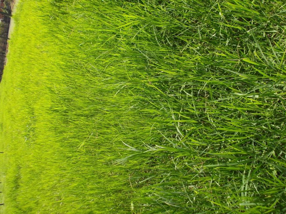 Fotografía Pasto Verde Calidad Alta